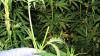 В Кизнерском районе пенсионерка подозревается в незаконном культивировании растения «мак»